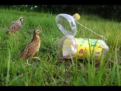 Awesome Quick  Plastice Bottle Bird Trap - How To Make A Plastice Bottle Bird Trap That Work 100% - YouTube