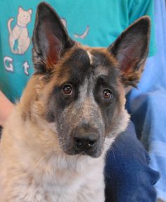 Siam is an exceptionally sweet and beautiful girl who is recovering well from neglect.  She has a unique appearance, perhaps a Belgian & German Shepherd mix, and she is about 6 years of age, spayed, and debuting for adoption today at Nevada SPCA (www.nevadaspca.org).  Siam was found on the Vegas streets with no sign of responsible ownership (no ID tag, no microchip ID, not spayed).  The family who found her said she is housetrained and compatible with cats, dogs, and kids.