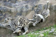Tail surfing. Snow Leopard Trust