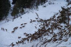 Feeding of Deers - Angertal Bad Hofgastein Austria, Germany, Country, Winter, Outdoor, Beautiful, Pictures, Deer Feeders, Winter Time