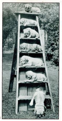 All these cute puppies on a ladder, 1932#Funny#Cute#Puppies#Classic#Adorable