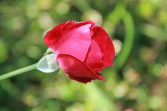 #Ph #redrose ~