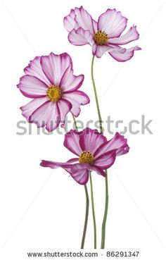 Studio Shot of  Magenta Colored Cosmos Flowers Isolated on White Background. Large Depth of Field (DOF). Macro. by Vilor, via ShutterStock