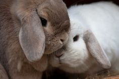 Holland Lop bunnies snuggling