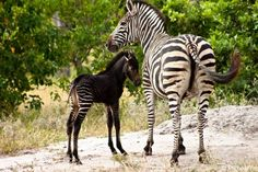 Ever Seen a Black Zebra Before? Earlier this month a newborn zebra was sighted in the north-western area of the Okavango Delta, in Vumbura Concession. The zebra has a rather amazing dark colour due to. Rare Animals, Animals And Pets, Wild Animals, Beautiful Horses, Animals Beautiful, Melanistic Animals, Baby Zebra, Serval, Tier Fotos