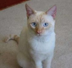 There's a lot of talk about the Flame Point Siamese cat, but does it actually exist? Is it the same as a Red Point Siamese? Discover the facts behind the name.