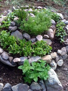 Herb spiral! Finally put one in! It looks much like this--I'll put up pics once it's grown in a bit.