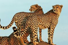 Common cheetahs, by Picture Taker 2, source http://www.flickr.com/photos/80835774@N00/4360426464/in/photostream / Cheetah Sun Set   Flickr - Photo Sharing!