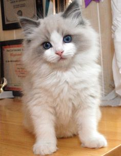 Cutest White and Grey Cat