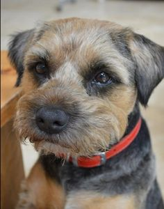 Tan and blue border terrier
