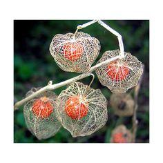 Resultado de imagem para flor lanterninha chinesa