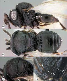 Trissolcus zakotos female paratype