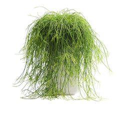 Buy mistletoe cactus (syn Rhipsalis cassutha ) Rhipsalis baccifera: Delivery by Crocus
