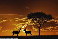 Two male Impala stand together at sunrise in the Masai Mara Game Reserve, Kenya, underneath an Umbrella Thorn Acacia