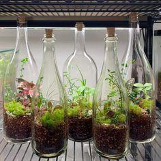 Wine Bottle Garden, Wine Bottle Planter, Bottle Terrarium, Terrarium Containers, Garden Terrarium, Succulent Terrarium, Indoor Water Garden, Indoor Plants, Closed Terrarium Plants