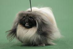 pomeranian sheepdog photo | Live Blog: 2012 Westminster Kennel Club Dog Show, First Night - The ...
