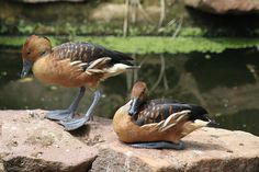 Ducks enjoying the Hot South African Summer - Time To Relax!