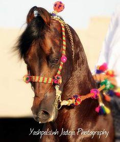 Kathiyawadi Horse, Horses, Photo Credit, Westerns, Animals, India, Animales, Goa India, Animaux