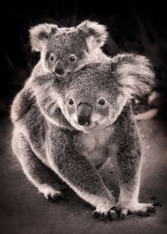 Koalas Baby, hold on (by kelpie1)