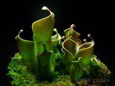 pitcher plants as a center-piece