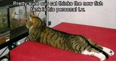 Tv cat | If you like funny pictures/other funny stuff then follow me and my funny pictures board