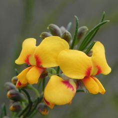 Guinea Flower Bush Pea Blüte orange gelb Pultenaea mollis