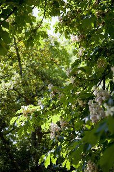 Horse Chesnut tree (Aesculus Hippocastanum) in beautiful bloom!