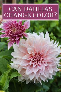Colorful Flowers, All Flowers, Beautiful Flowers, Growing Dahlias, Types Of Plants, Flowering Plants, Planting Flowers, Herb Garden, Garden Plants