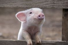 Petunia Piglet!