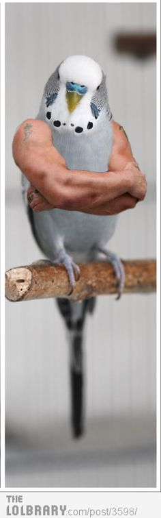 muscle budgie!