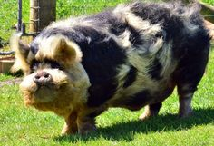 Kunekune pig by unreal digital Interesting Animals, Unusual Animals, Most Beautiful Animals, Farm Animals, Animals And Pets, Funny Animals, Cute Animals, Baby Pigs, Pet Pigs
