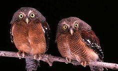 Sjöstedt's Owlets (Glaucidium sjostedti). Photo by Brian Schmidt.