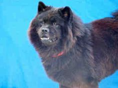 BEAR is an adoptable Chow Chow Dog in Los Angeles, CA.  ...