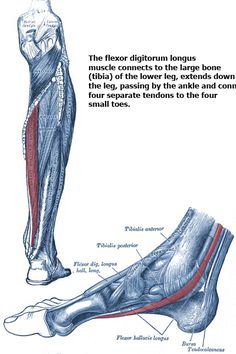 The flexor digitorum longus muscle contributes to pain in the ball of the foot, the bottom of the foot going into the arch, and the bottom of the small toes. Ankle Anatomy, Foot Anatomy, Human Body Anatomy, Muscle Anatomy, Head Muscles, Muscular System, Foot Reflexology, Fit Board Workouts, Anatomy And Physiology