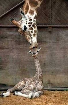 A wild animals picture of a baby Giraffe kiss in the zoo. This amazing mammals photo in the parks pen is of the mother showing baby Animals Animals Super Cute Animals, Cute Funny Animals, Cute Baby Animals, Animals And Pets, Rare Animals, Happy Animals, Baby Wild Animals, Animal Babies, Strange Animals