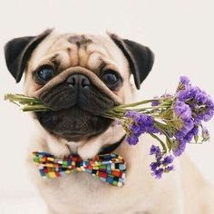 pug with flowers and bowtie