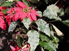 Powdery mildew on poinsettia plant. Cucumber Leaves Turning Yellow, Christmas Plants, Plant Diseases, Powdery Mildew, Garden Plants, Organic