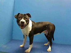 Brooklyn Center  MINO - A0969393  MALE, BLACK / WHITE, PIT BULL MIX, 1 yr, 6 mos Mino is a gorgeous black and white cookie who entered the Brooklyn Center as a stray. He is fading in to the background and will never get out of the shelter without some attention. Please share Mino! https://www.facebook.com/photo.php?fbid=629704890375727=a.617941078218775.1073741869.152876678058553=3