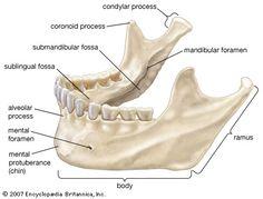 Dentaltown - Dental Anatomy and Tooth Morphology. Anatomy Head, Skull Anatomy, Body Anatomy, Anatomy Study, Human Skeleton Parts, Human Skeleton Anatomy, Dental Assistant Study, Dental Hygiene School, Dental Life