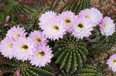 Echinopsis multiplex