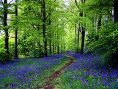 I love beautiful scenery photos like this one....Early spring with new tiny green leaves and bluebells everywhere !