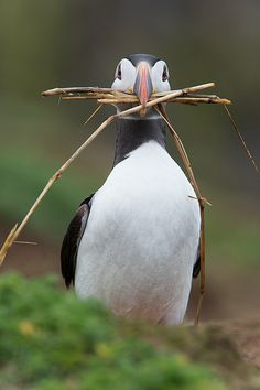 Atlantic Puffin (Alca Arctica) by Dave Hunt Photography
