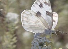 /\ /\ . Checkered White Butterfly