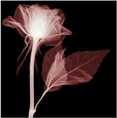X-Ray Rose by Hugh Turvey