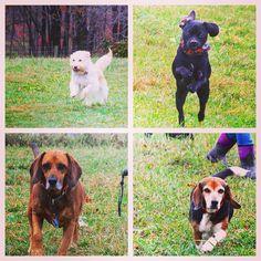 Cathy & Doakes yehawing with Amber & Jennifer in tow. #evasplaypupspa #dogs #dogcamp #doggievacays #dogsofinstagram #dogsinnature #runfree #yeehaw #beaglesofinstagram #badassbk #adoptdontshop #rescuedog #autumn #sweaterweather #endlessmountains #mountpleasant #PA #pennsylvania