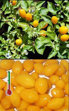 Pimentas Art   40 Sementes de Pimenta Cumari-do-Pará *Frete Grátis*