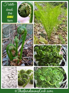 Fiddle head ferns - the edible fern from the ostrich fern family.  Find out how to prepare, gather and cook them.  http://thegardeningcook.com/fiddlehead-ferns/