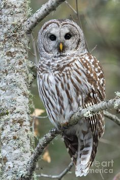 Barred Owl Print featuring the photograph Hoot Hoot Hoot Are You by Beve Brown-Clark Photography