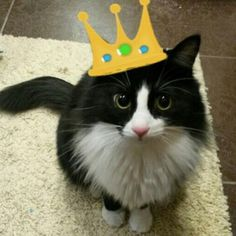 For you I'd do anything  #kittylove #thoseeyes #cats #catsofinstagram #thatface #cute #irresistible #happycauses #childrensbooks #helpkids #helpcats #supportyourshelter #adoptdontshop #rescuecat #fluffycat #crown #jewels #catlovers #catstagram #suchagem : @cat_hashish