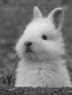 When you are searching for a furry companion which is not only adorable, but very easy to have, then look no further than a pet rabbit. Cute Baby Bunnies, Funny Bunnies, Cute Baby Animals, Animals And Pets, Cute Babies, White Bunnies, Cute Creatures, Beautiful Creatures, Animals Beautiful